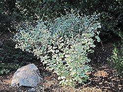 Palmer's Indian Mallow (Abutilon palmeri) at Roger's Gardens