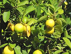 Persian Lime (Citrus x latifolia) at Roger's Gardens