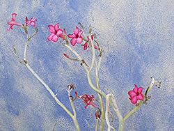 Desert Rose (Adenium obesum) at Roger's Gardens