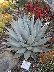 Desert Agave (Agave deserti) at Roger's Gardens