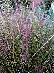 Pink Muhly Grass (Muhlenbergia capillaris 'Pink Muhly') at Roger's Gardens