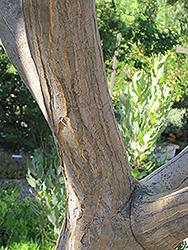 Tree Aloe (Aloe bainesii) at Roger's Gardens