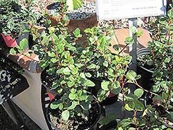 Evergreen Currant (Ribes viburnifolium) at Roger's Gardens