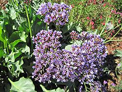 Perez's Sea Lavender (Limonium perezii) at Roger's Gardens