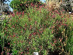 Autumn Sage (Salvia greggii) at Roger's Gardens
