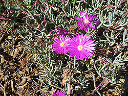 Purple Iceplant (Lampranthus productus) at Roger's Gardens