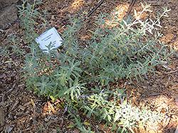 Pozo Blue Sage (Salvia 'Pozo Blue') at Roger's Gardens
