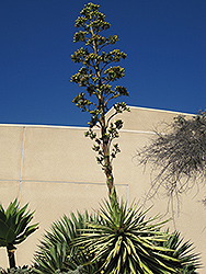 Tequila Agave (Agave tequilana) at Roger's Gardens