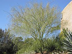 Desert Willow (Chilopsis linearis) at Roger's Gardens