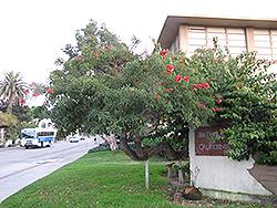 Cockspur Coral Tree (Erythrina crista-galli) at Roger's Gardens