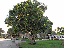 Yellow Trumpetbush (Tecoma stans) at Roger's Gardens