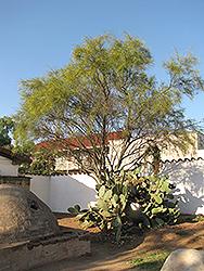 Mexican Palo Verde (Parkinsonia aculeata) at Roger's Gardens