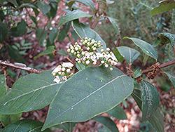 Laurustinus (Viburnum tinus) at Roger's Gardens