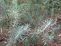 Wulfenii Mediterranean Spurge (Euphorbia characias 'var. wulfenii') at Roger's Gardens