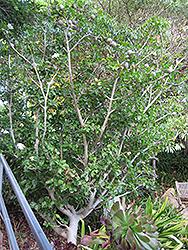 White Gardenia (Gardenia thunbergia) at Roger's Gardens