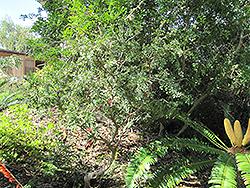 Karoo Boer Bean (Schotia afra) at Roger's Gardens