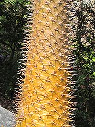 Madagascar Palm (Pachypodium lamerei) at Roger's Gardens