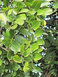 Weeping Boer Bean (Schotia brachypetala) at Roger's Gardens