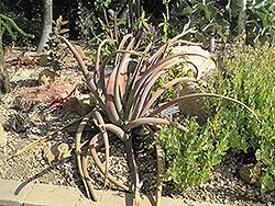 Malagasy Tree Aloe (Aloe suzannae) at Roger's Gardens