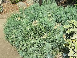Jolly Gray Hybrid Kleinia (Senecio talinoides 'Jolly Gray') at Roger's Gardens