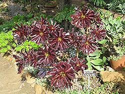 Schwarzkopf Stonecrop (Aeonium arboreum 'Schwarzkopf') at Roger's Gardens