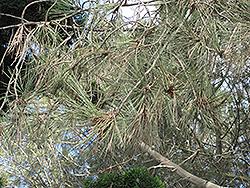 Torrey Pine (Pinus torreyana) at Roger's Gardens