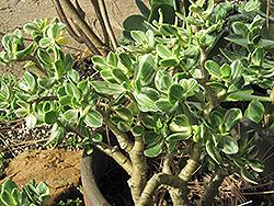 Variegated Jade Plant (Crassula ovata 'Variegata') at Roger's Gardens