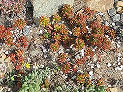 Jelly Bean Plant (Sedum rubrotinctum) at Roger's Gardens