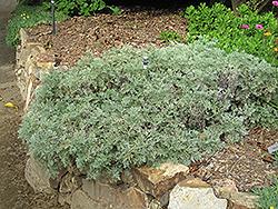 Powis Castle Artemesia (Artemisia 'Powis Castle') at Roger's Gardens