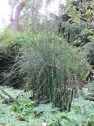 Horsetail (Equisetum hyemale) at Roger's Gardens