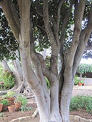 Bay Laurel (Laurus nobilis) at Roger's Gardens