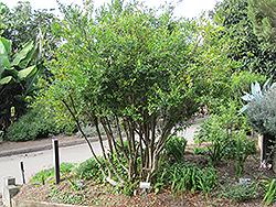 Myrtle (Myrtus communis) at Roger's Gardens