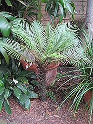 Dwarf Tree Fern (Blechnum gibbum) at Roger's Gardens