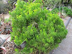 Narrow-Leaf Chalksticks (Senecio cylindricus) at Roger's Gardens