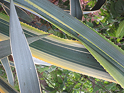 Sunrise Tequila Agave (Agave tequilana 'Sunrise') at Roger's Gardens