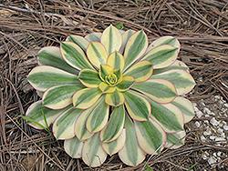 Sunburst Aeonium (Aeonium 'Sunburst') at Roger's Gardens