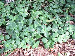 Fairy Crassula (Crassula multicava) at Roger's Gardens