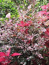 Red-leaved Snow Bush (Breynia disticha 'Roseopicta') at Roger's Gardens