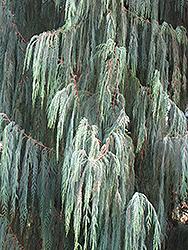 Kashmir Cypress (Cupressus cashmeriana) at Roger's Gardens