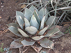 Parry's Agave (Agave parryi var. parryi) at Roger's Gardens