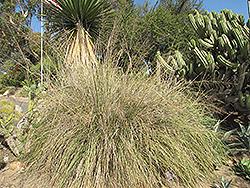 Wright's Dropseed (Sporobolus wrightii) at Roger's Gardens
