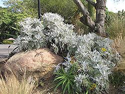Nevin's Wooly Sunflower (Eriophyllum nevinii) at Roger's Gardens