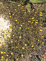 Golden Dyssodia (Thymophylla pentachaeta) at Roger's Gardens