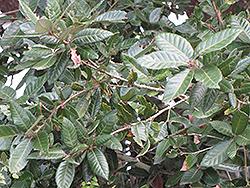 Island Oak (Quercus tomentella) at Roger's Gardens