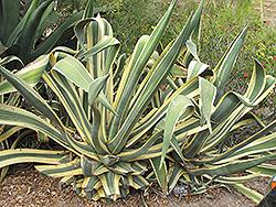 Variegated Century Plant (Agave americana 'Marginata') at Roger's Gardens