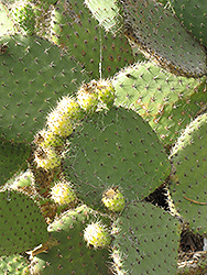 Barbary Fig (Opuntia ficus-indica) at Roger's Gardens