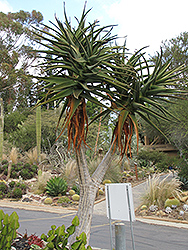 Hercules Aloe (Aloe 'Hercules') at Roger's Gardens