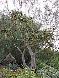 Tree Aloe (Aloe barberae) at Roger's Gardens