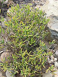 Orange Iceplant (Lampranthus aurantiacus) at Roger's Gardens