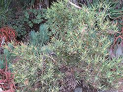 Galpin's Conebush (Leucadendron galpinii) at Roger's Gardens